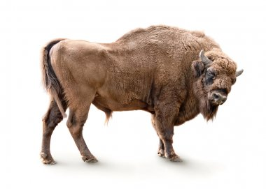 European bison isolated