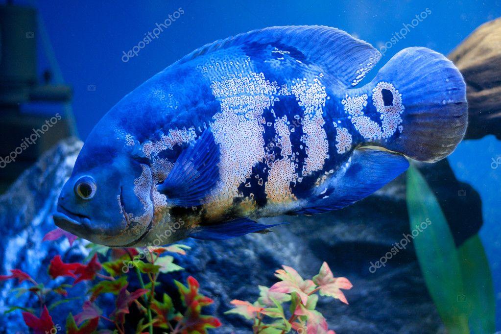 Poisson de grand bleu de la mer en aqurium sous l 39 eau - Grand poisson de mer ...