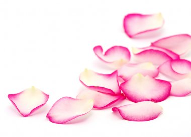 Pink rose petals isolated on white stock vector