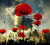 Fotografie Poppy red
