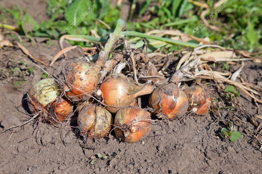 Freshly dug organic onions drying on the soil surface