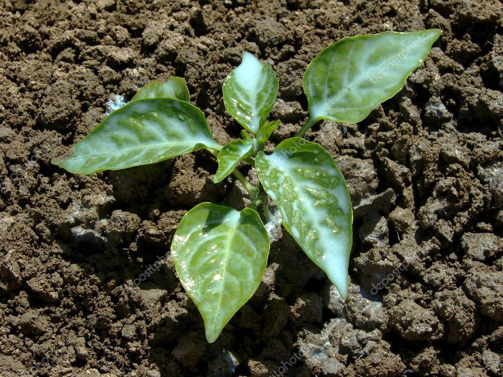 Antifungal plant protection