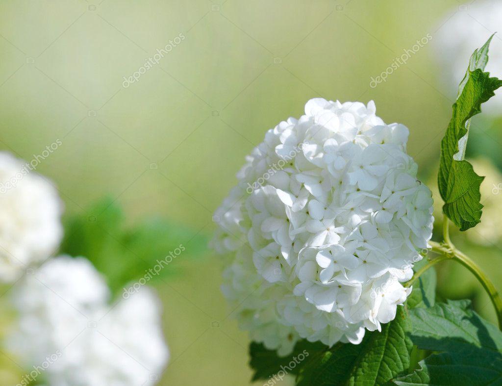 Beautiful white blooming hydrangea