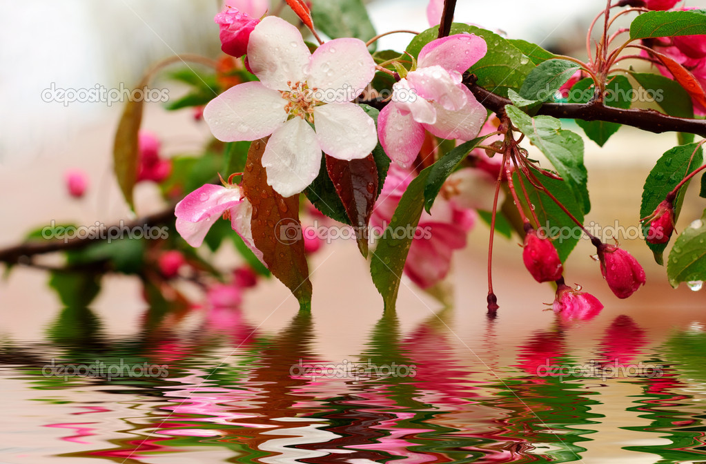 Blossoming of sakura flowers