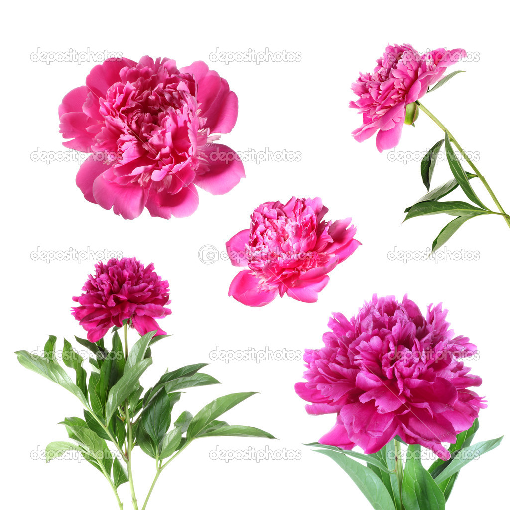 Peony flower isolated on white background