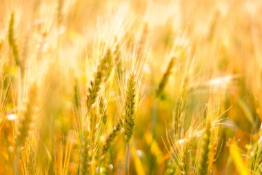 Ripe wheat background