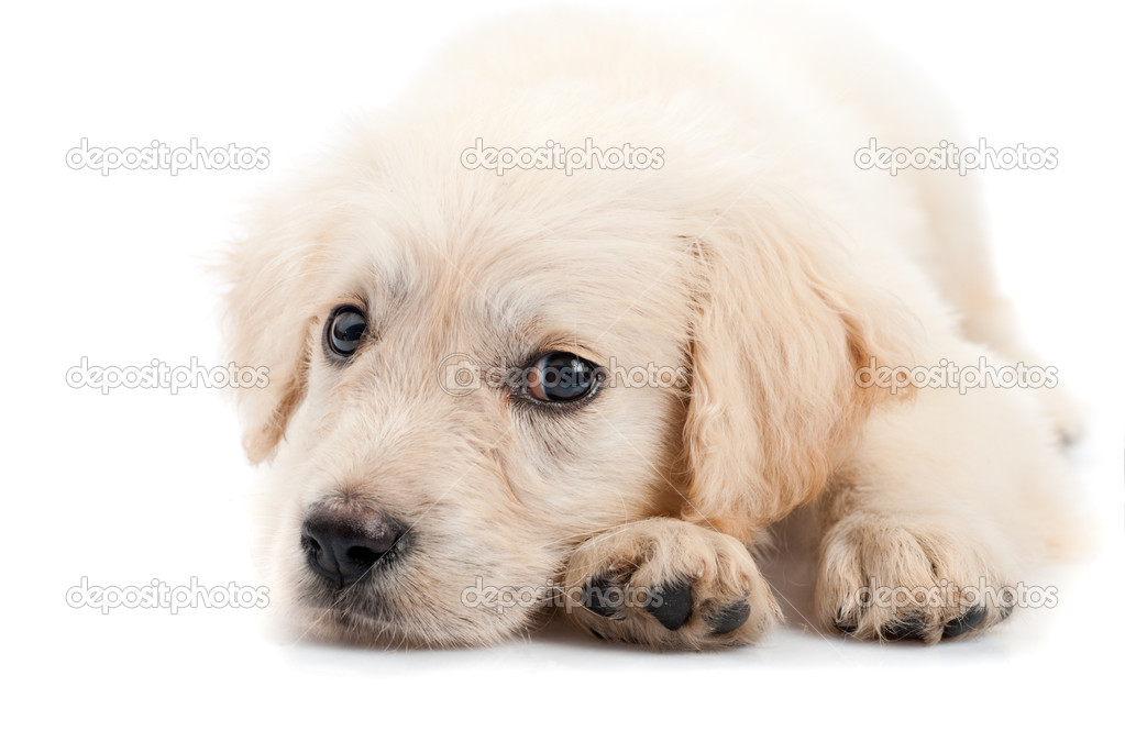 Golden retriever puppy isolated