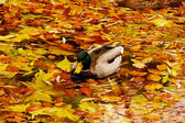 Mallard duck on the lake