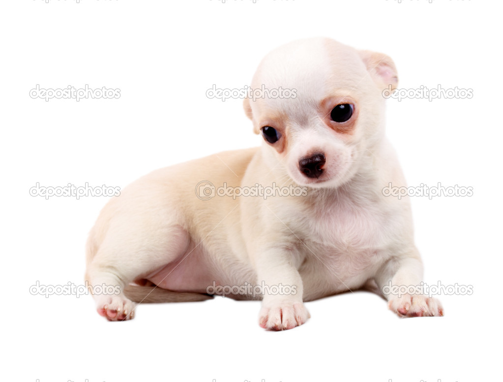 Cute Small Chihuahua Puppy Sitting On White Looking At