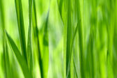 čerstvé zelené trávy