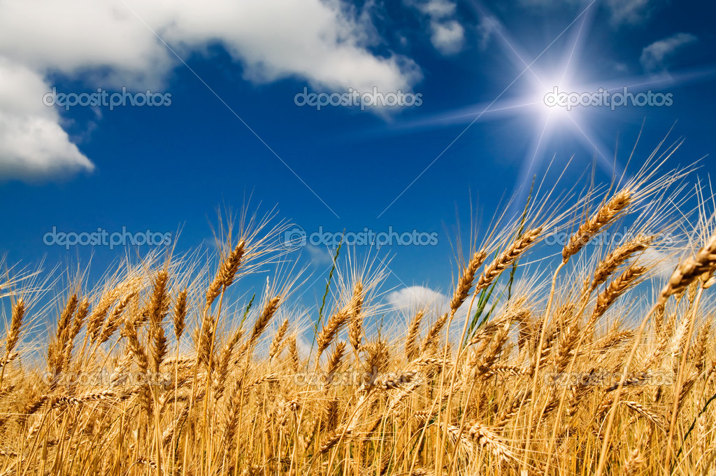 Summer field with full grown golden grain.