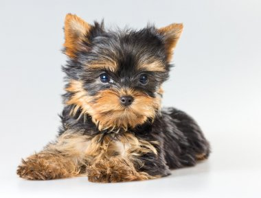 Small puppy Yorkshire Terrier
