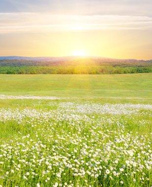 Big field of flowers on sunrise.