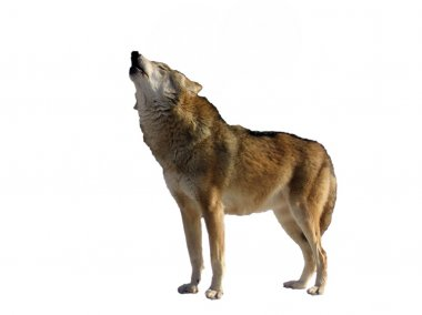 Isolated singing wolf