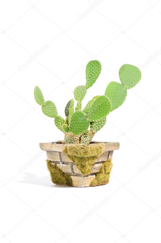 Bunny Ears Cactus (Opuntia Microdasys) in Pot