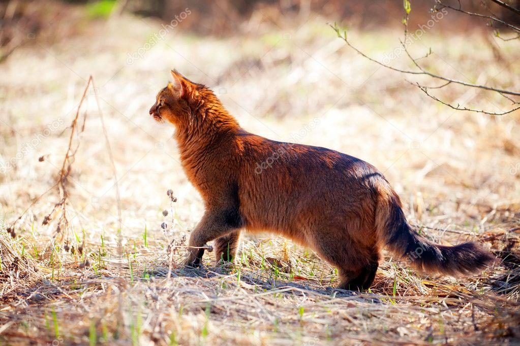 Somali cat outdoor