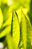 Fotografia pianta del tè