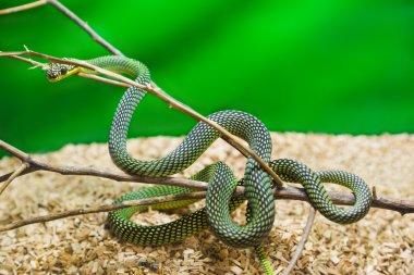 Green snake in terrarium