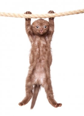 A little scottish fold kitten is hanging on the rope