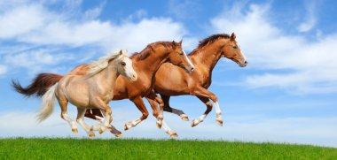 Three stallions gallop