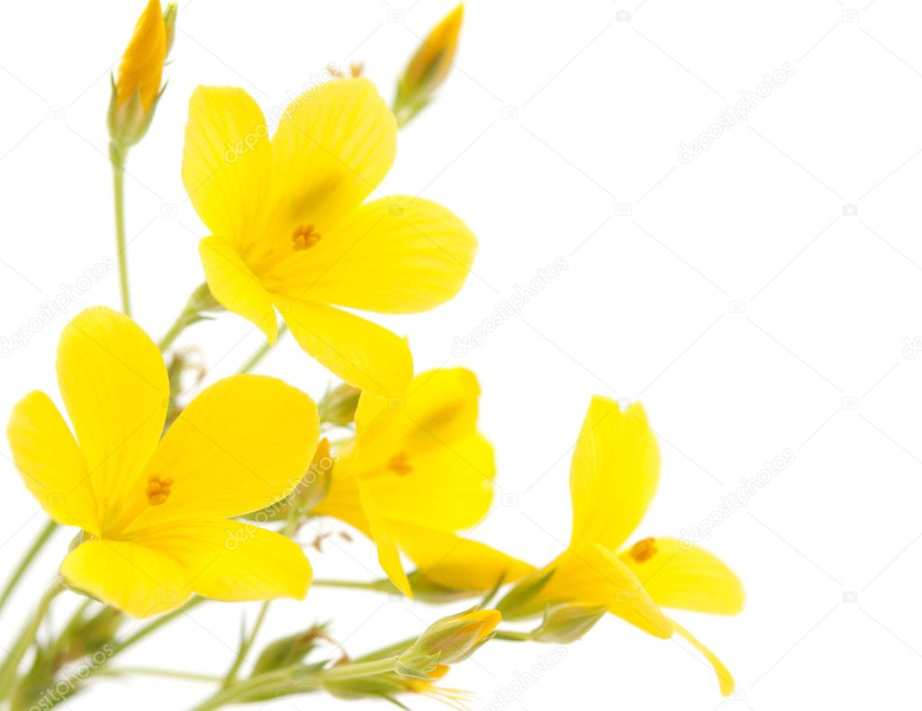 Meadow yellow flower