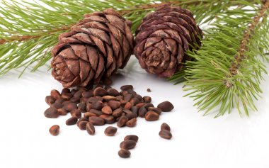 Siberian pine nuts and needles branch