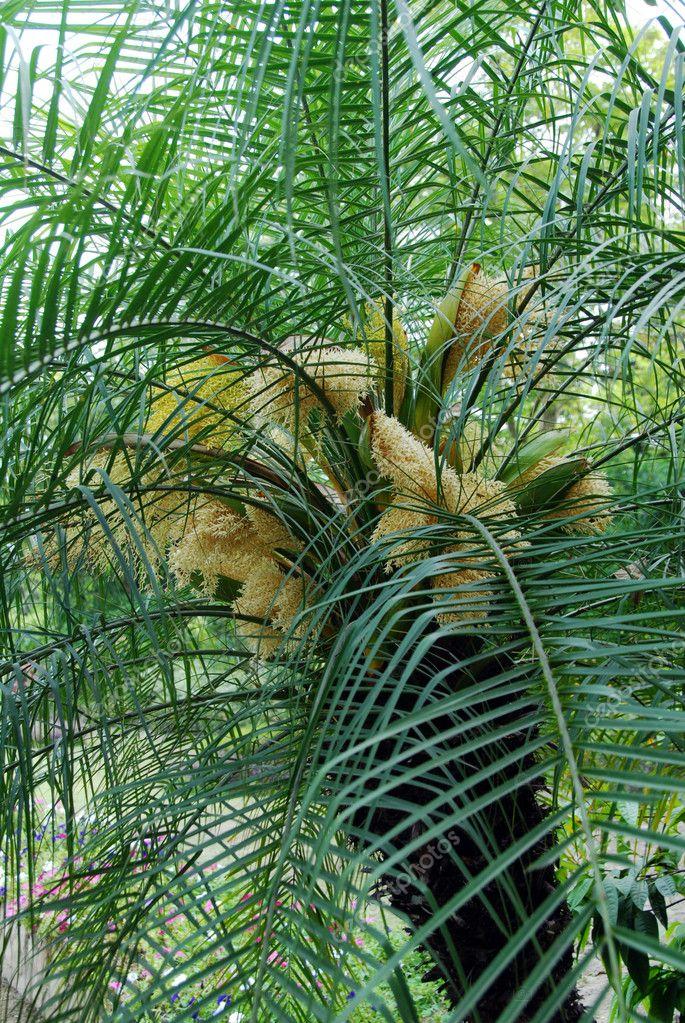 Palmier Dattier Avec Fleurs Blanches Photographie Nikonite C 6464809