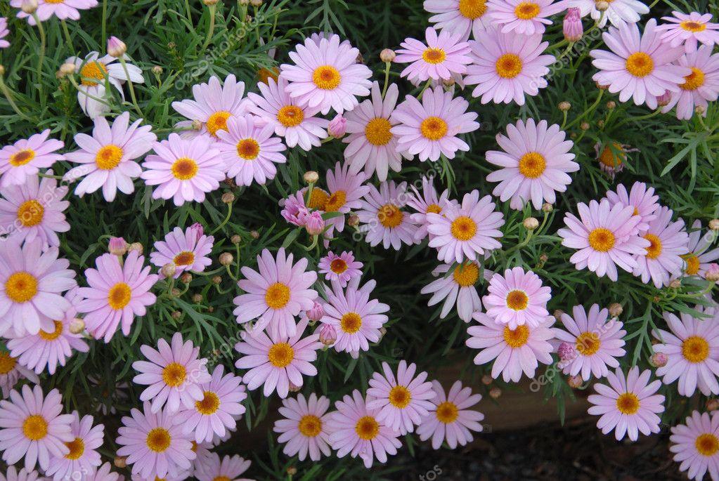 Lila Rosa Gänseblümchen gelb-Blumen — Stockfoto © Nikonite #6465100