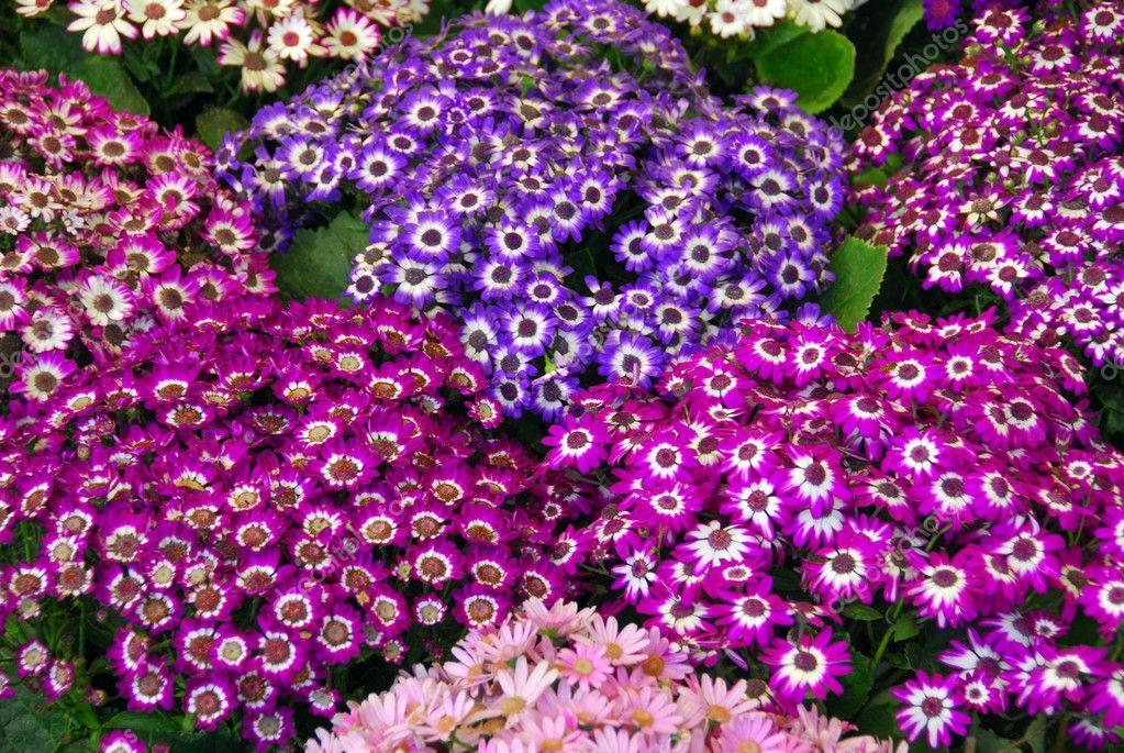 blau weiß lila Zinerarie Blumen — Stockfoto © Nikonite #6465701