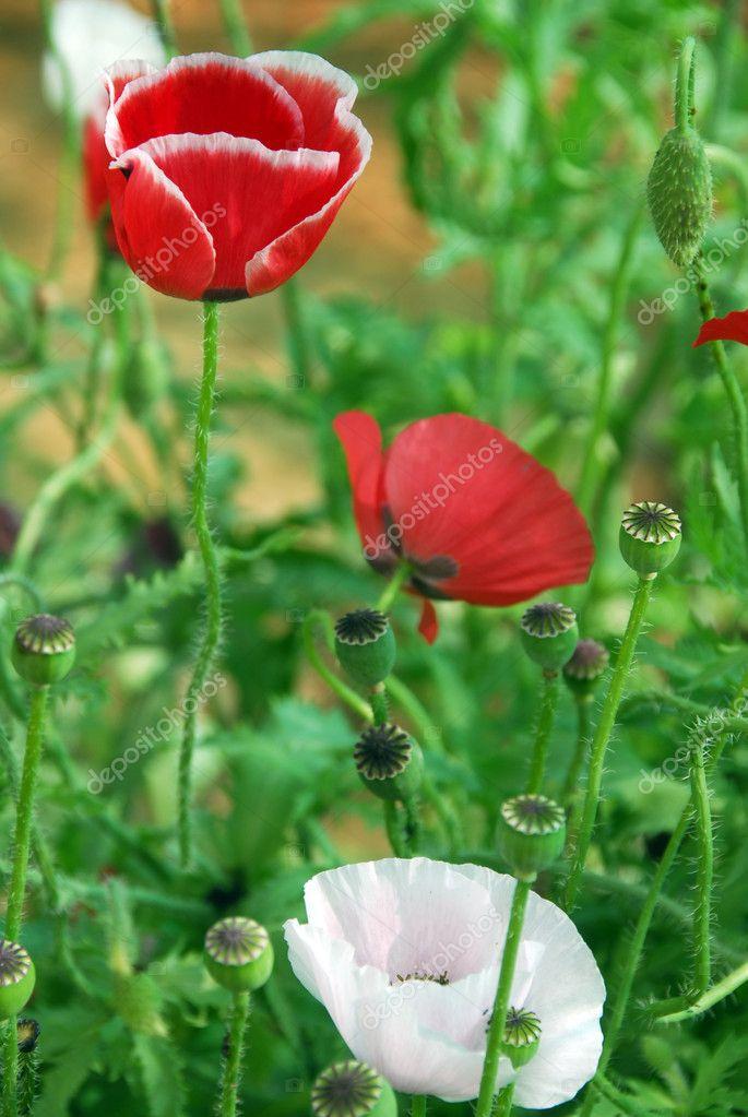 Red and white poppy flower — Stock Photo © Nikonite #6465898