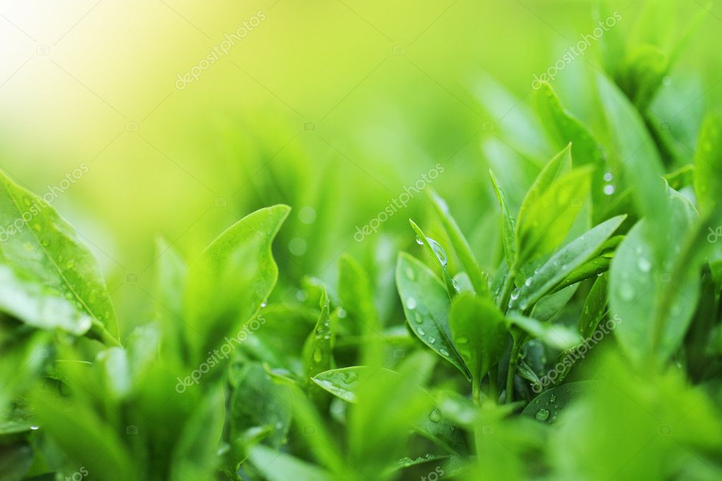 Tea plantation close up background