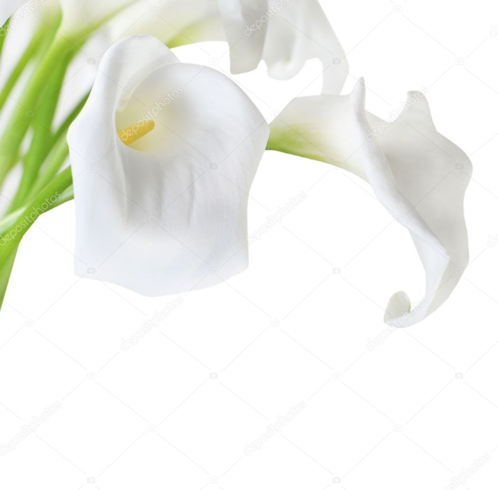 White Cala Lilies