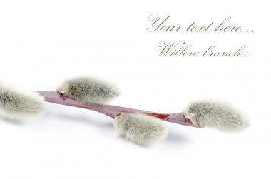 Beautiful branch of willow isolated