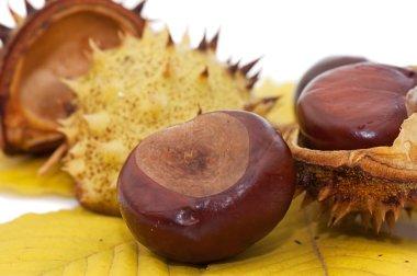 Brown chestnut nut closeup