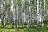 letní zelené březový les