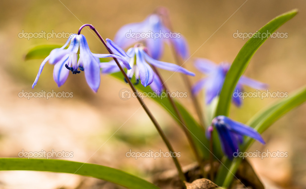 Spring time: Squill flowers