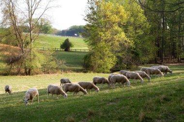 Sheep graze on grass in a meadow. stock vector