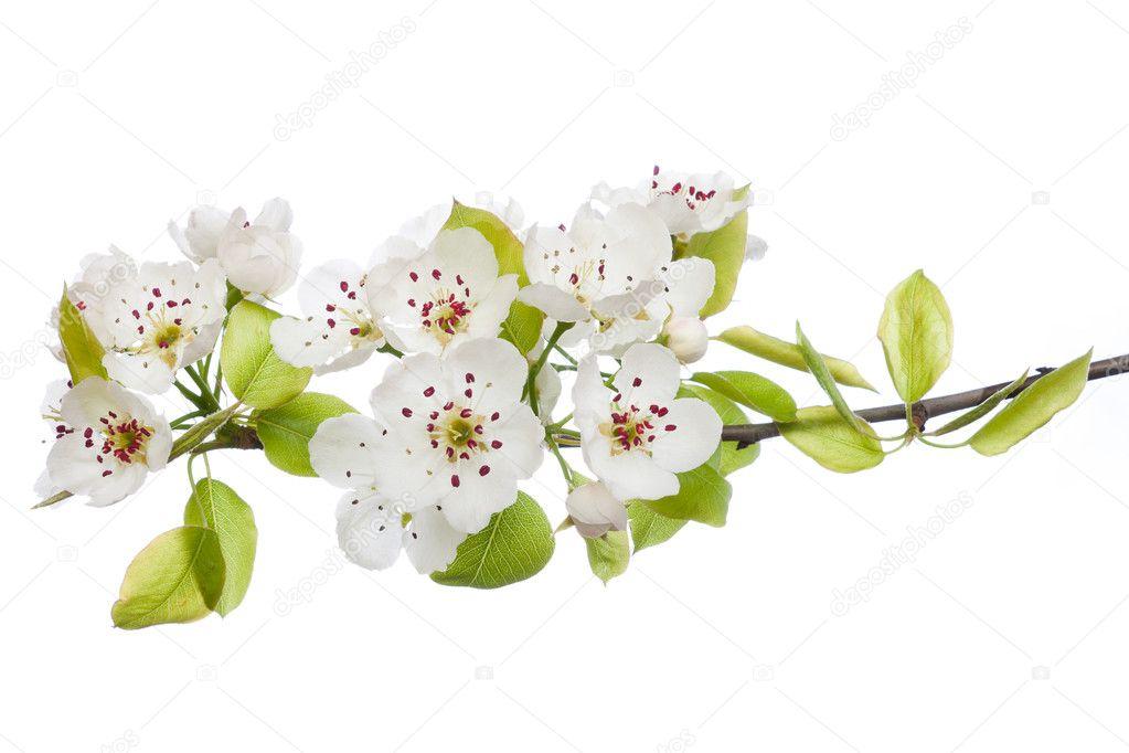 Blühender Baum im Frühjahr isoliert auf weiss — Stockfoto © jenmax ...