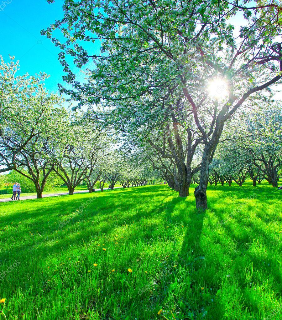 beautiful blooming apple trees in spring park u2014 stock photo