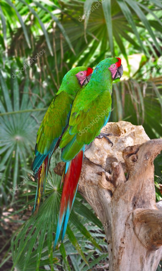 A couple of Great Green Macaws