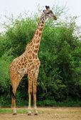 Fotografia giraffa