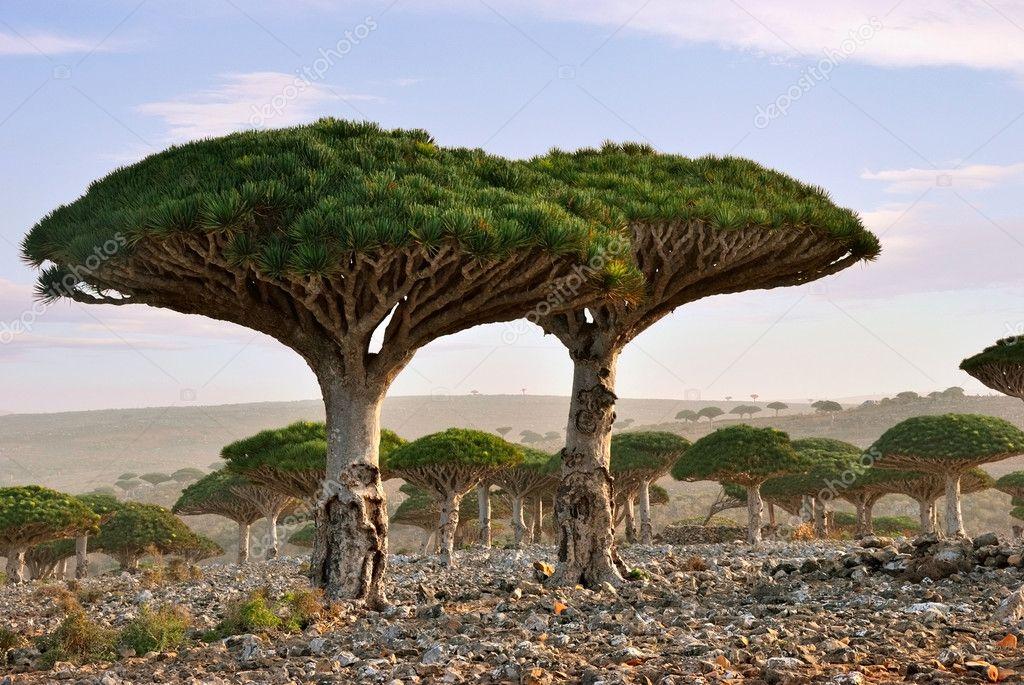 Dragon blood tree