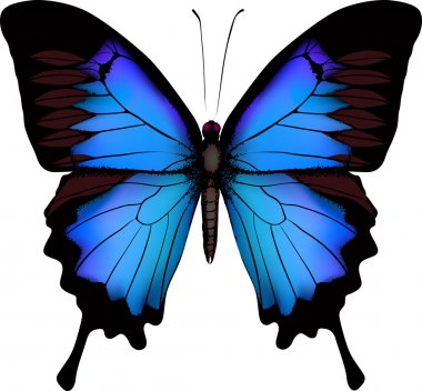 Blue butterfly papilio ulysses (Mountain Swallowtail) isolated v