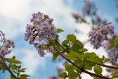 Fotografie Blossoming branch of tree Paulownia.