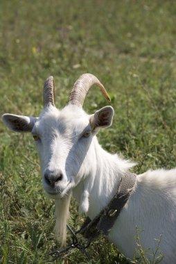 Old goat