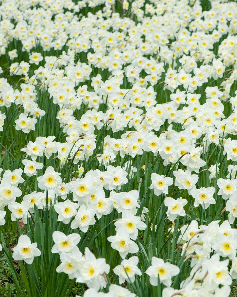 Field Of White Flowers Narcissus Stock Photo Galdzer 6192576