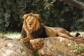 Lion in safari.