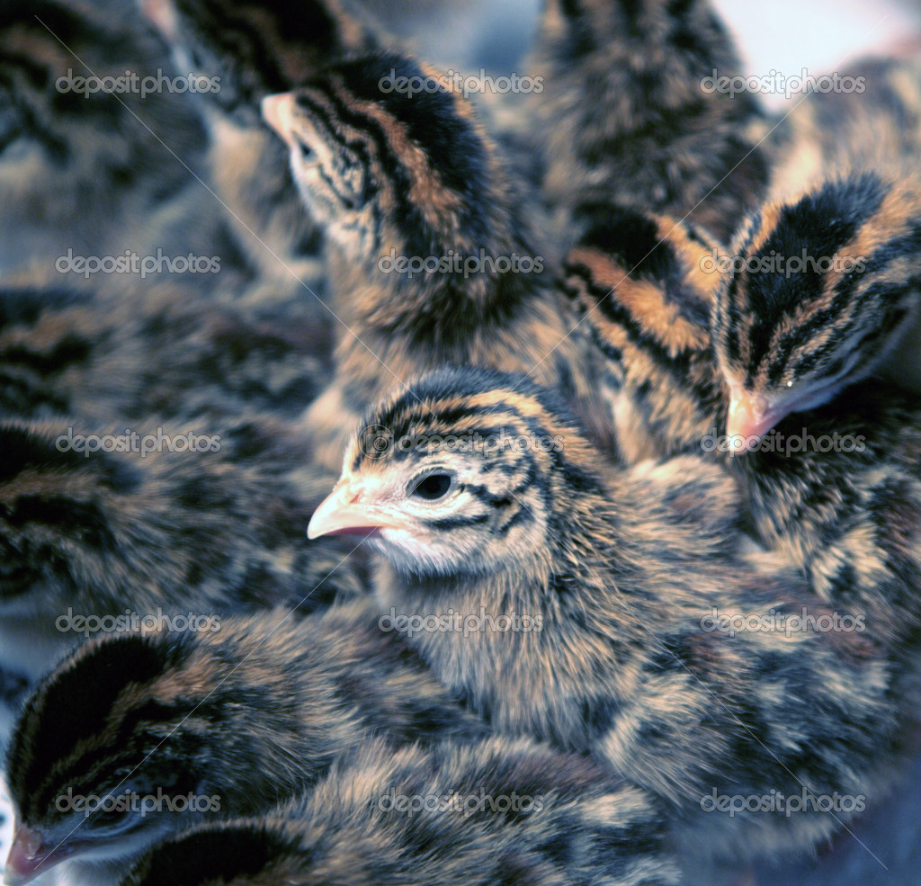 Pictures Guinea Keets Newborn Guinea Fowl Keets Stock
