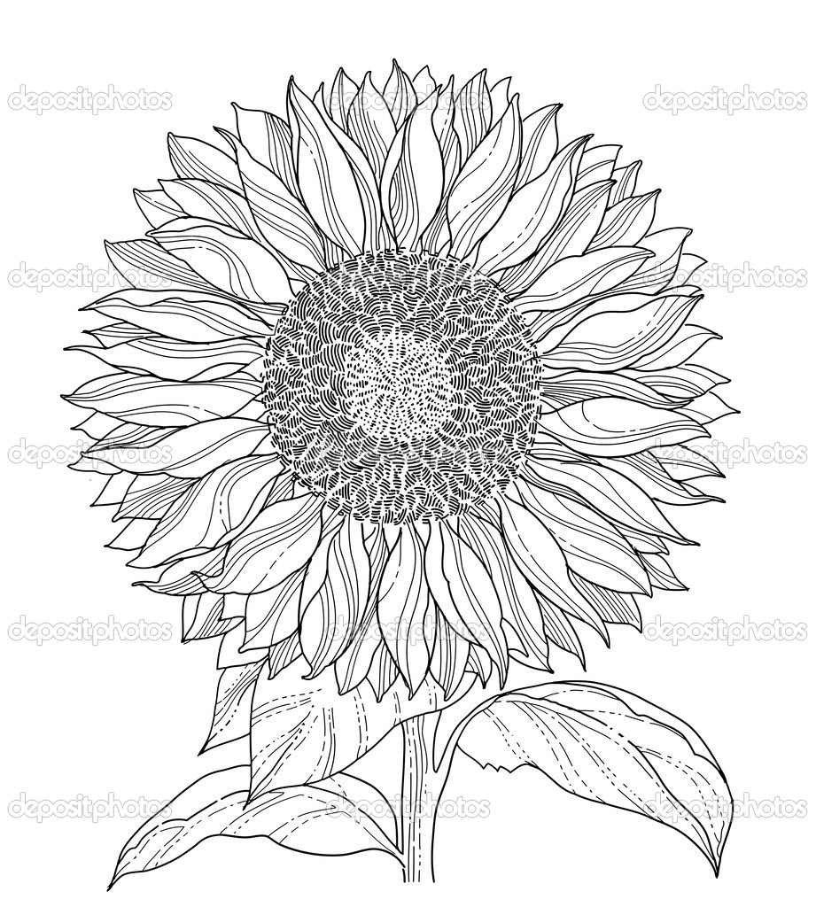 Drawings Of A Sunflower Sunflower Drawing Stock Vector C Silvertiger 6099140