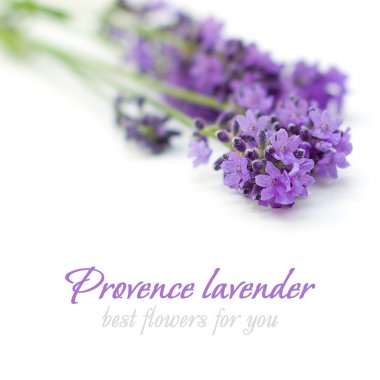Provence Lavender Flower on White - Floral Background